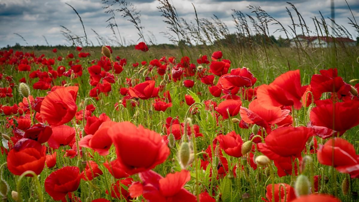 Puzzle Recueillir des puzzles en ligne - Poppies in the field