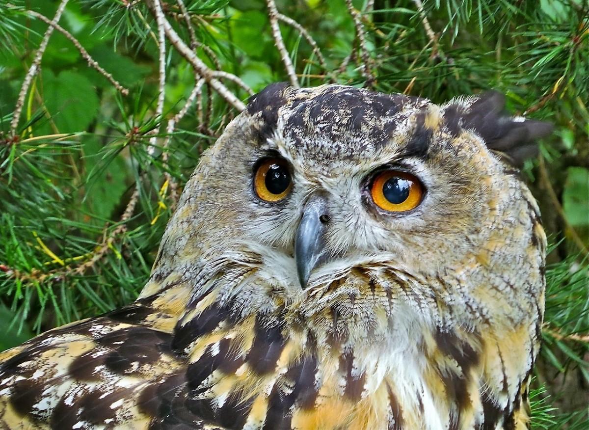 Puzzle Recueillir des puzzles en ligne - Eagle owl