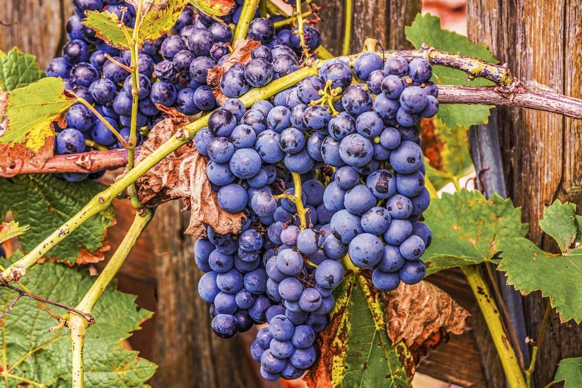Puzzle Recueillir des puzzles en ligne - Blue grape