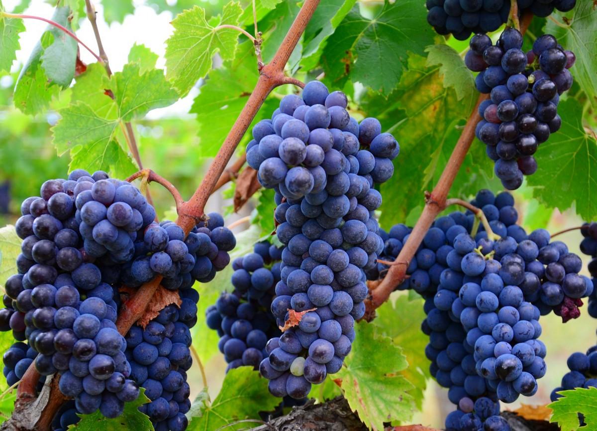 Puzzle Recueillir des puzzles en ligne - The grape harvest