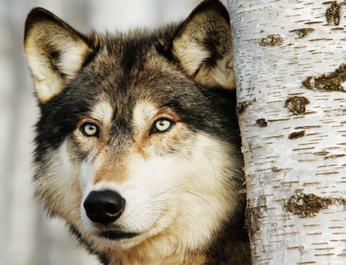 Puzzle Recueillir des puzzles en ligne - Wolf