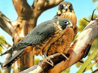Собирать пазл Australian hobby falcon онлайн