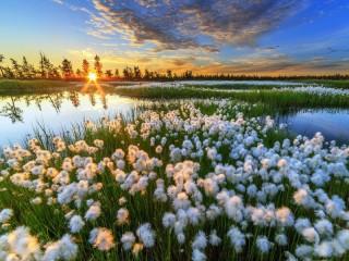 Собирать пазл Bog cotton-grass онлайн