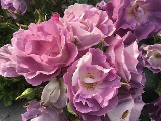 Собирать пазл Tea roses онлайн