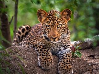 Собирать пазл Leopard cub онлайн