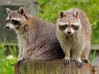 Собирать пазл Raccoons on a tree stump онлайн