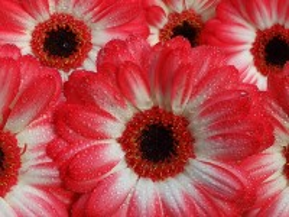 Собирать пазл Gerbera daisies in the dew онлайн