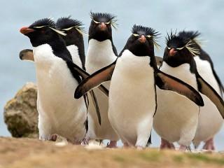 Собирать пазл Hohlatie pingvini онлайн