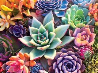 Собирать пазл Cactus онлайн