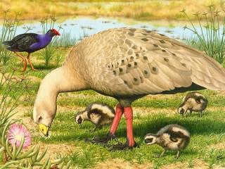 Собирать пазл Cape Barren goose онлайн
