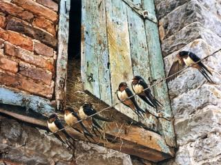 Собирать пазл Swallows онлайн