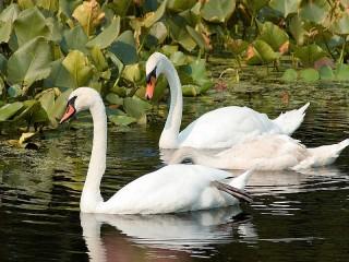 Собирать пазл Swans онлайн