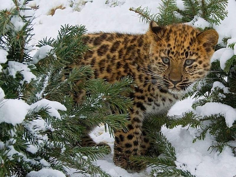 Puzzle Recueillir des puzzles en ligne - leopard zimoy