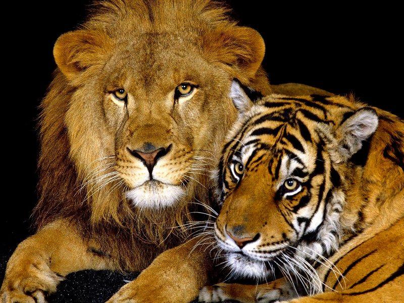 Puzzle Recueillir des puzzles en ligne - lev i tigr