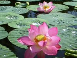 Собирать пазл Lotus 1 онлайн