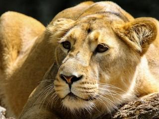 Собирать пазл Lioness онлайн