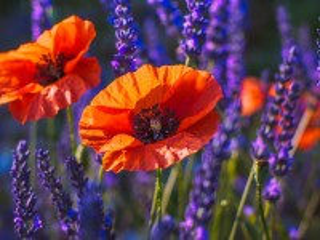 Собирать пазл Poppies among the lavender онлайн