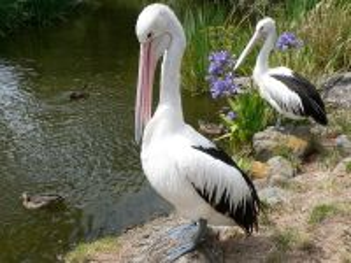 Собирать пазл Pelikani онлайн