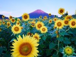Собирать пазл Sunflowers at the mountain онлайн