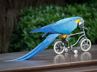 Собирать пазл Parrot on bike онлайн