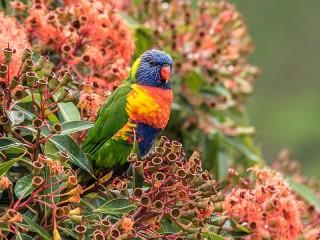 Собирать пазл Parrot онлайн