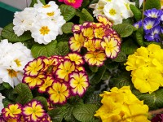 Собирать пазл Primula онлайн
