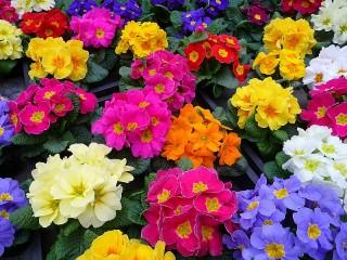 Собирать пазл Primulas онлайн
