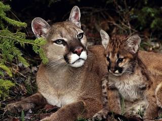 Собирать пазл Puma and cub онлайн
