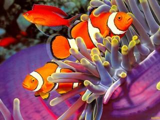 Собирать пазл Clown fish онлайн