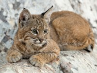 Собирать пазл A small lynx онлайн