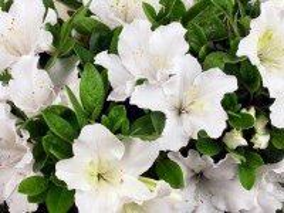 Собирать пазл Rhododendron онлайн