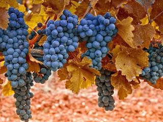 Собирать пазл Blue grape онлайн