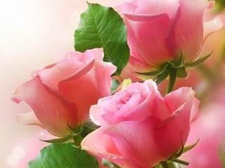 Собирать пазл Three roses онлайн