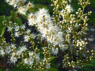 Собирать пазл Blooming Sorbaria онлайн
