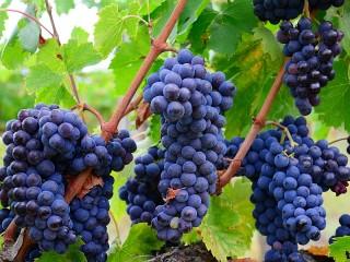 Собирать пазл The grape harvest онлайн