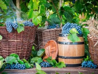 Собирать пазл Grape harvest онлайн