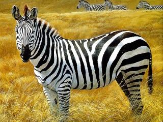 Собирать пазл Zebra онлайн