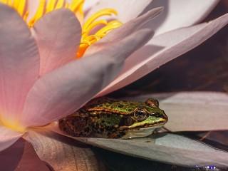 Собирать пазл Flower and frog онлайн